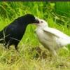 【鳥の話題】ほぼほぼ白いカラスに専門家も目を白黒 親子?「とても珍しい」