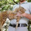 仏コルシカ島で「キツネネコ」捕獲?当局は新種と主張 写真11枚 国際ニュース:AFPB